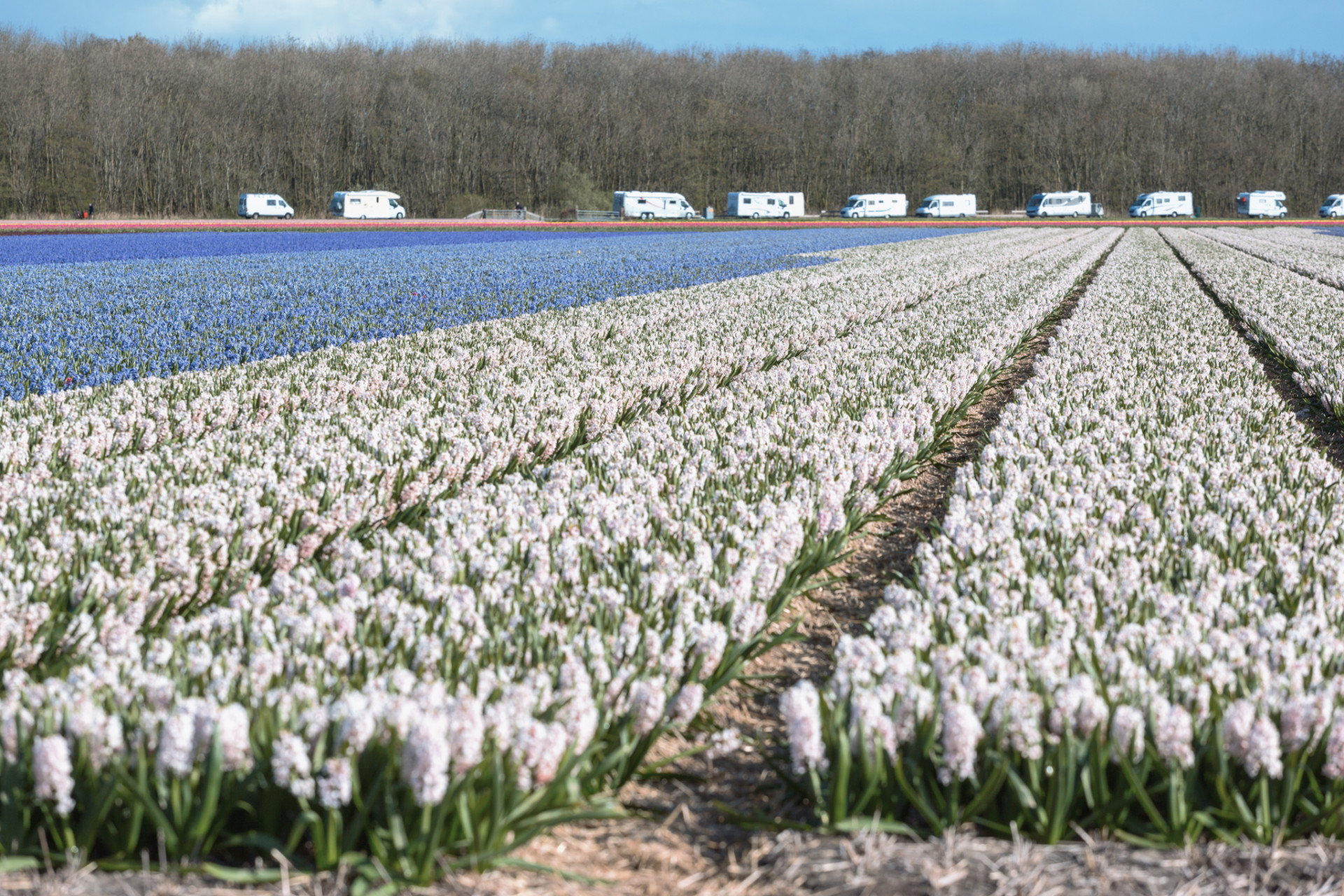 Wohnmobile am Tulpenfeld beim Camping in Holland